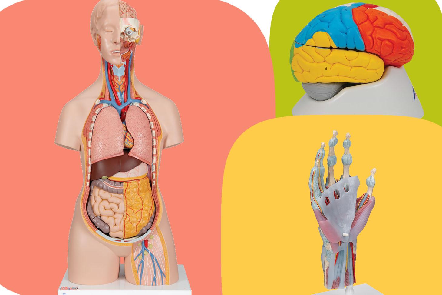 BU_Collection_modèles_anatomiques