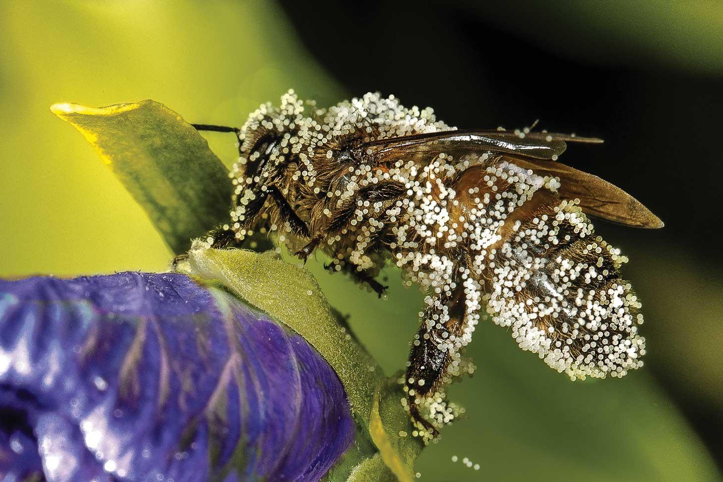 Abeille domestique (Apis mellifera) couverte de pollen. Photo extraite de l'exposition © Jacques Renoux